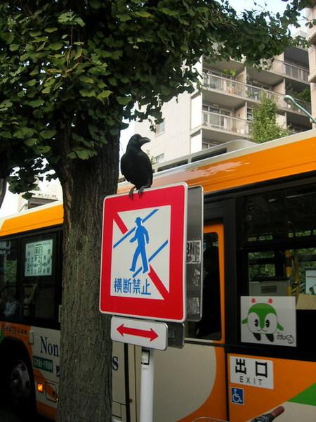 在日本不斷聽到烏鴉叫...原來烏鴉在日本是吉祥的動物