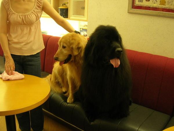 0614 今天下午到Doggy House居然遇到紐芬蘭犬