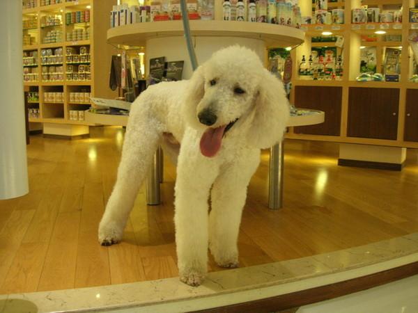 這次又在Doggy House遇到巨型貴賓狗路易