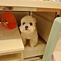 後來不知道為什麼躲到桌子底下