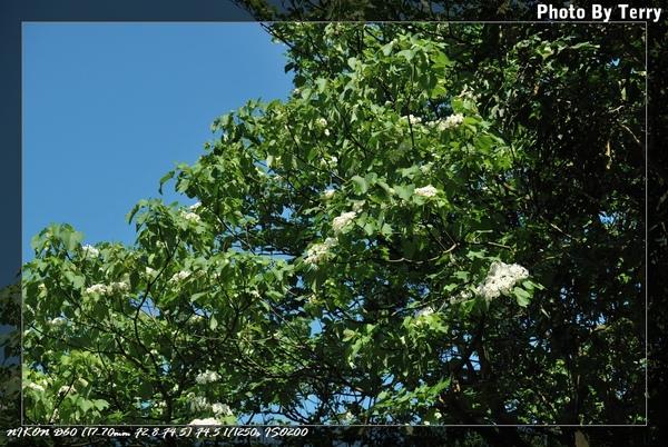 殘念的油桐花  (12).jpg