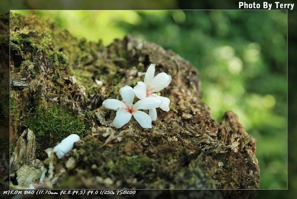 殘念的油桐花  (23).jpg