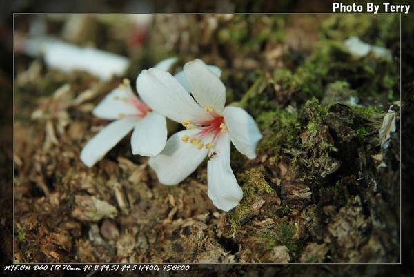 殘念的油桐花  (24).jpg