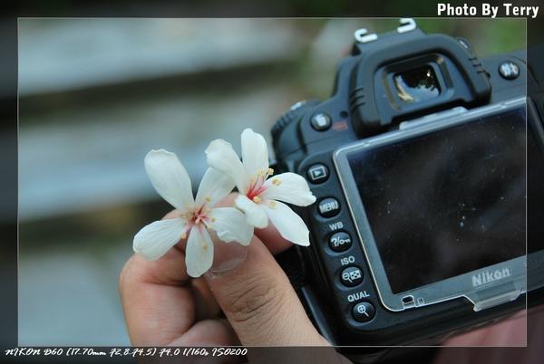 殘念的油桐花  (25).jpg