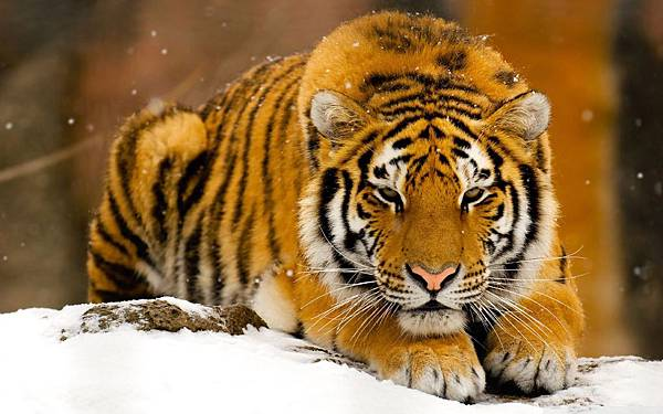 siberian_tiger_in_snow-wallpaper-1680x1050
