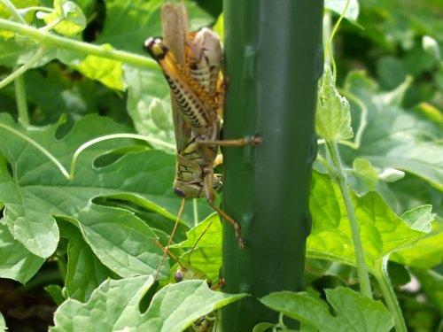 兩隻蝗蟲 10-04-2008.jpg