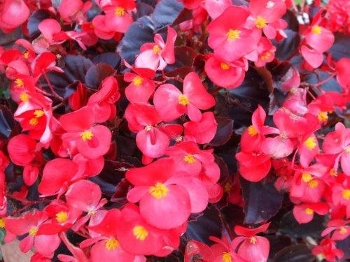 紅色秋海棠 10-17-2008.jpg