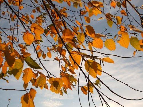 Fall foliage 11-12-2011 (Birch)