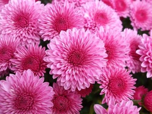 Pink chrysanthemums 10-11-2009
