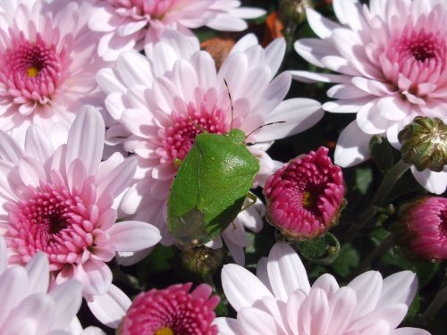 Green bug n chrysanthemums 10-26-2008