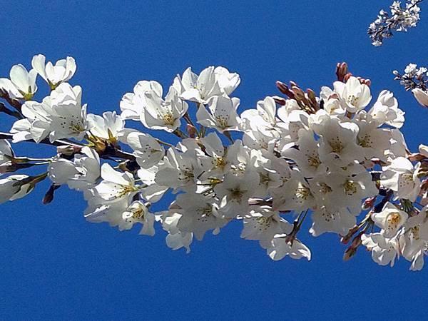 Neighbor's flowering cherry tree 03-21-2016.jpg