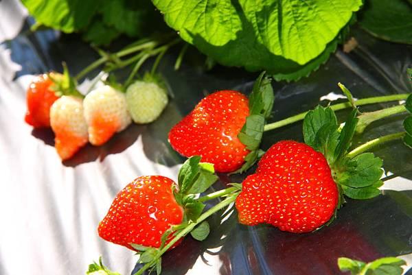 內湖區草莓香甜可人