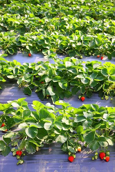 春節期間,歡迎來採草莓