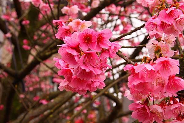 這是杏花?桃花?櫻花?