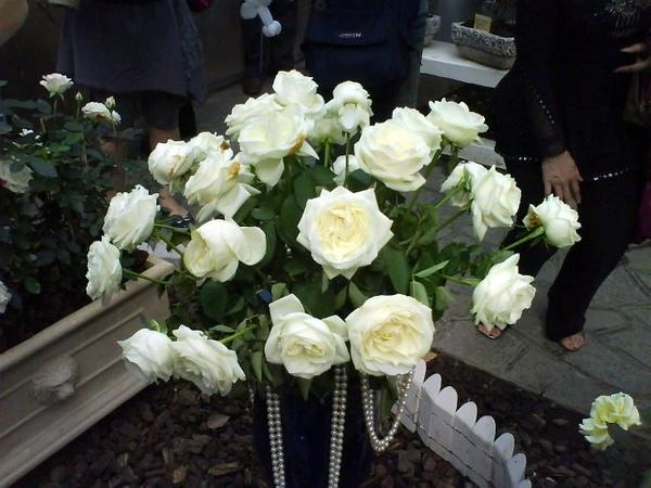 貴氣白玫瑰