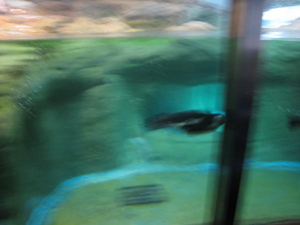 快速游動的企鵝