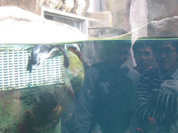 正在吃魚的企鵝