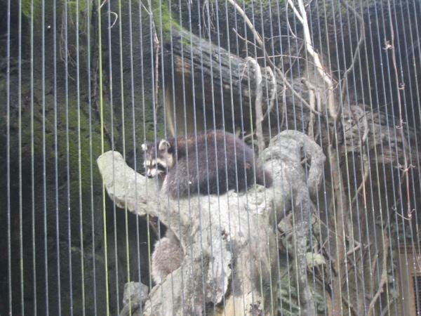 另一種浣熊