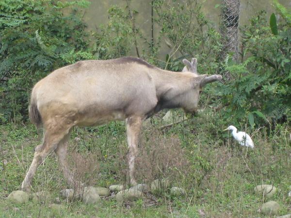 大衛牧師鹿