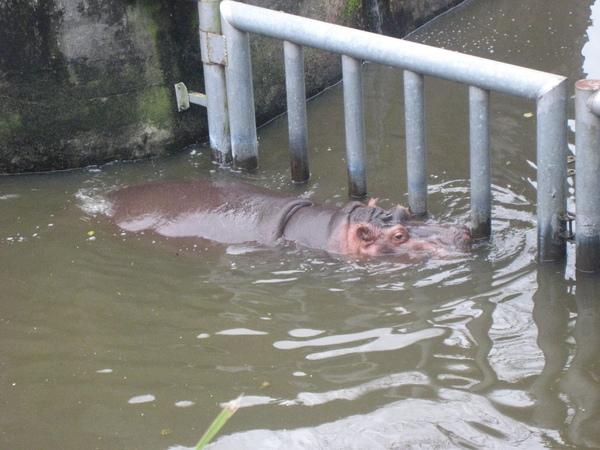 潛水的河馬