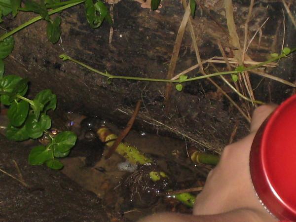 白頜樹蛙的卵泡