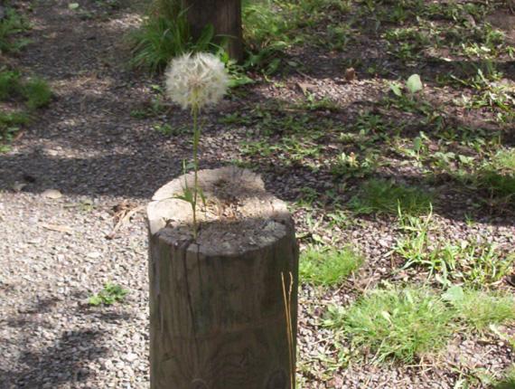 插在木頭上的浦公英