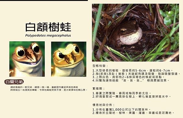 白頷樹蛙-03-01