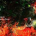 火焰鳳凰4.jpg