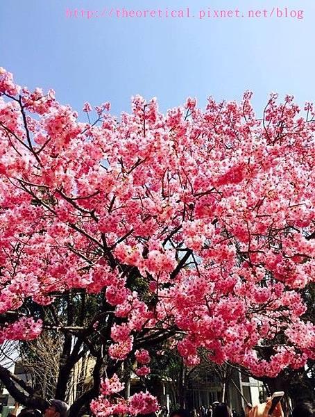 上野公園櫻花23