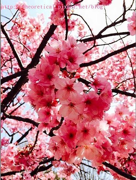 上野公園櫻花2