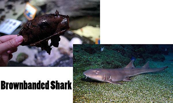 Brownbanded Shark.jpg