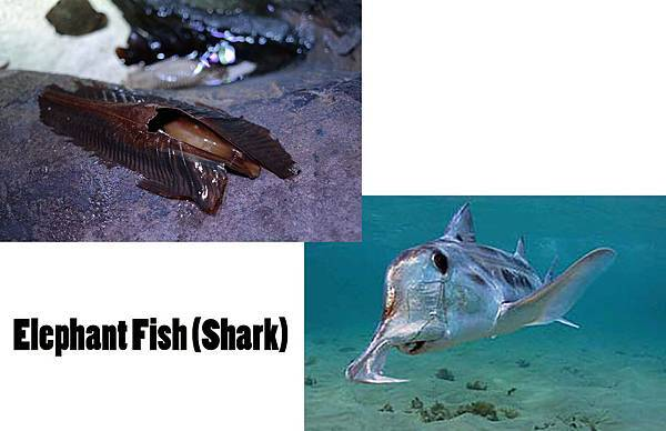Elephant Fish (Shark).jpg