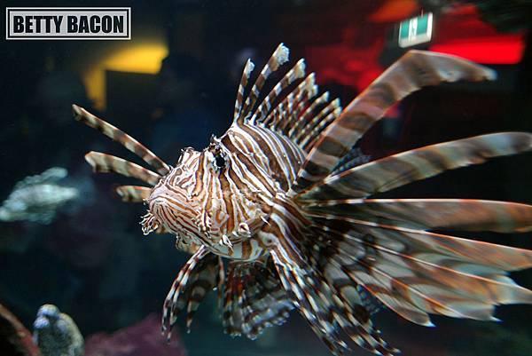 Lion Fish (2).JPG