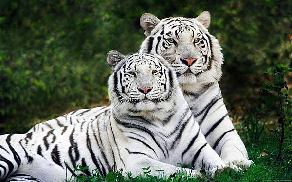 couple-white-tiger-desktop-background.jpg