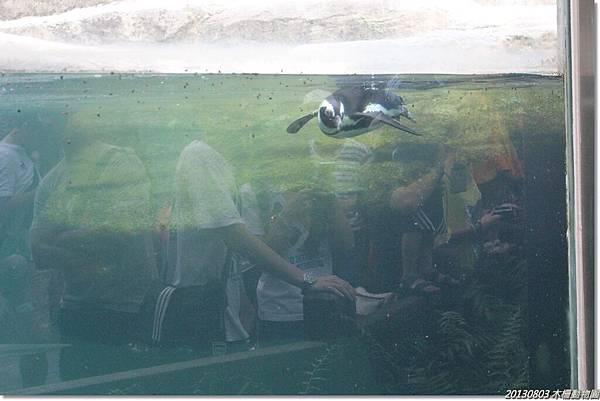 有一隻企鵝很捧場一直游來游去