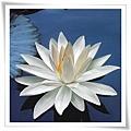 WhiteLotus_on_BlueWater_8.jpg