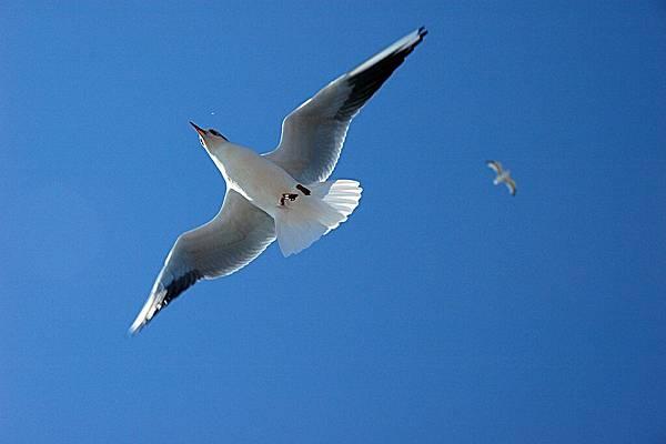 英國人散步大道:海鷗悠閒的飛行