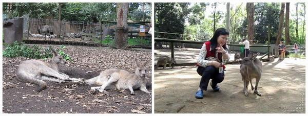 動物園看袋鼠