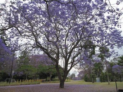 Jacaranda 是BRN的市花,藍花楹,又名非洲紫薇