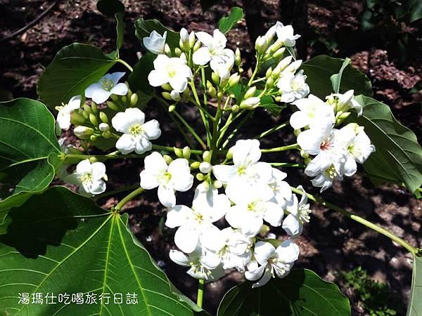 雲林桐花_古坑荷苞山桐花公園_09