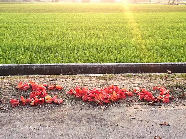 白河木棉花,台南賞花,白河林初埤木棉花道,全球最美木棉花_05