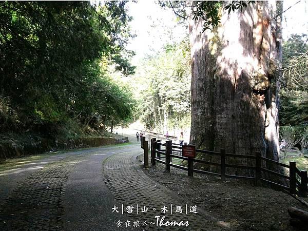 大雪山,台中景點,雪生神木,木馬道,小雪山登山_32