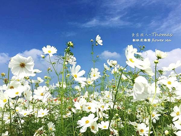 台中景點,2016新社花海節_24