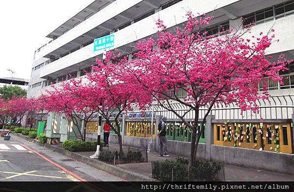 文昌櫻花樹