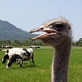 瑞穗牧場的駝鳥