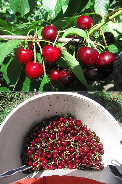 小Cherry.jpg