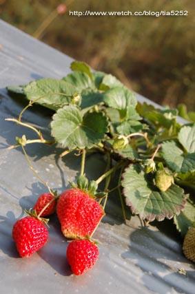 大湖的草莓又大又紅