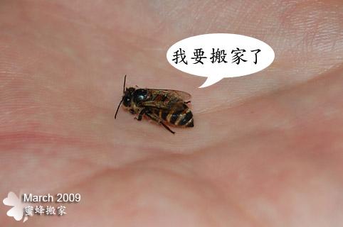 蜜蜂搬家了