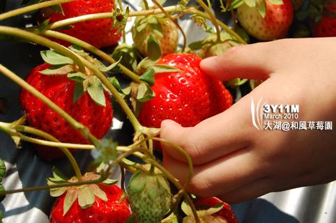 好大的草莓