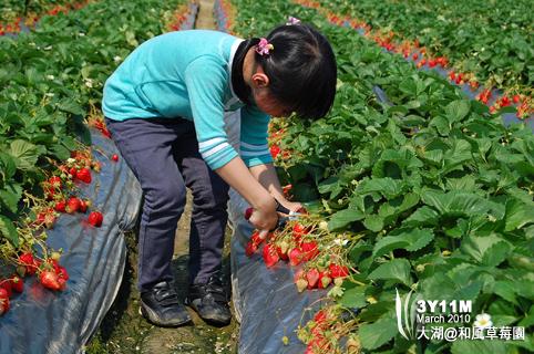 小思毅自己挑草莓